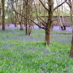 Bluebells - Brandon Wood