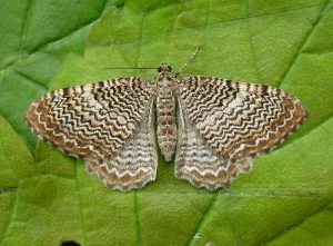 scallop shell moth